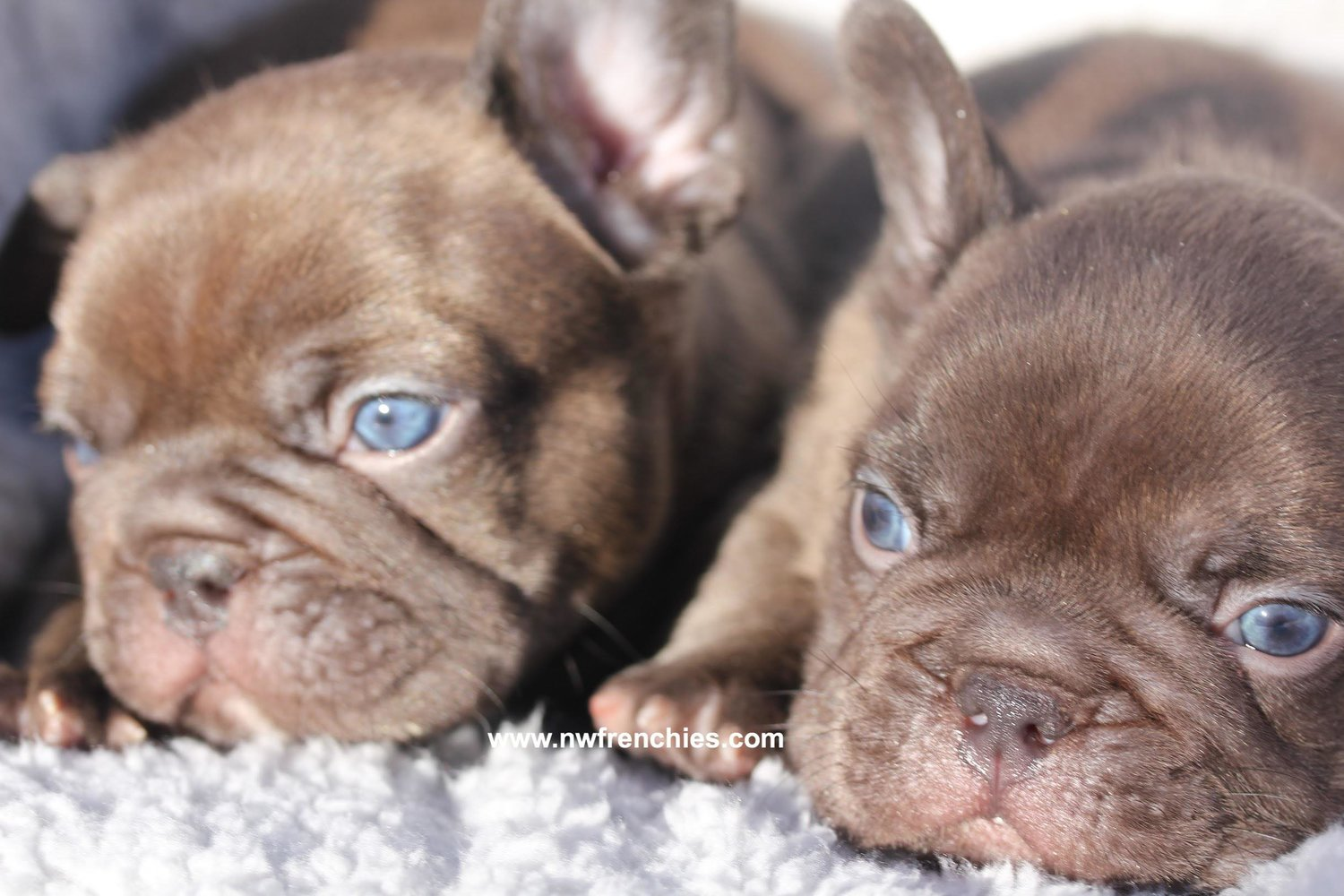 French Bulldog Coat Colors Nw Frenchies Breeder In