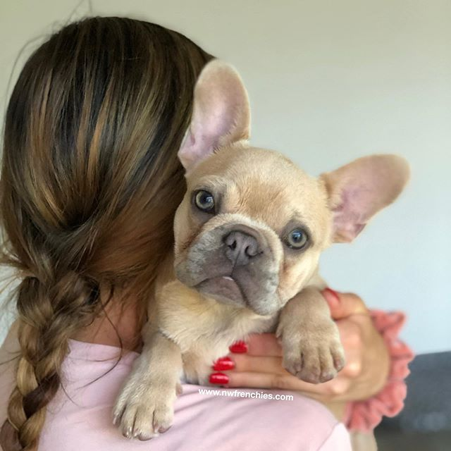 French Bulldog Puppies for Sale in Washington State | NW
