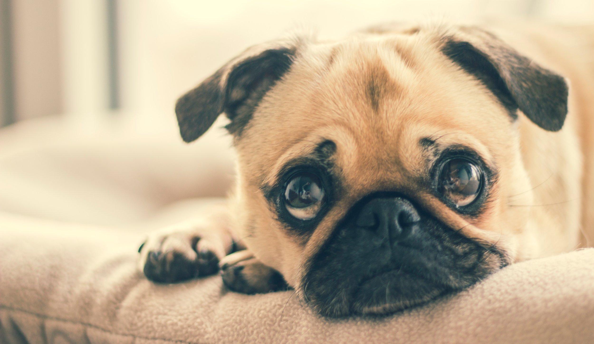 adorable-animal-breed-374906.jpg