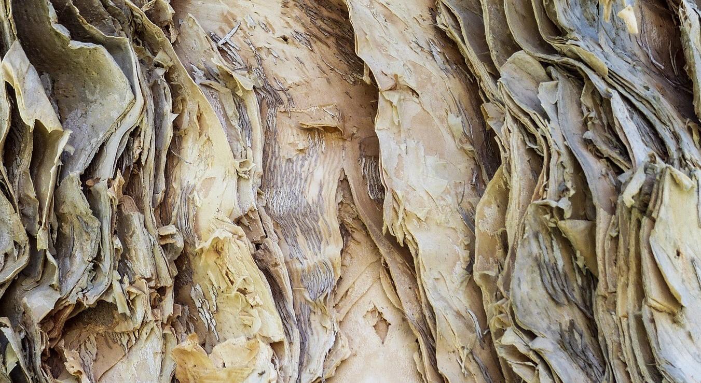 Eukalyptusstamme