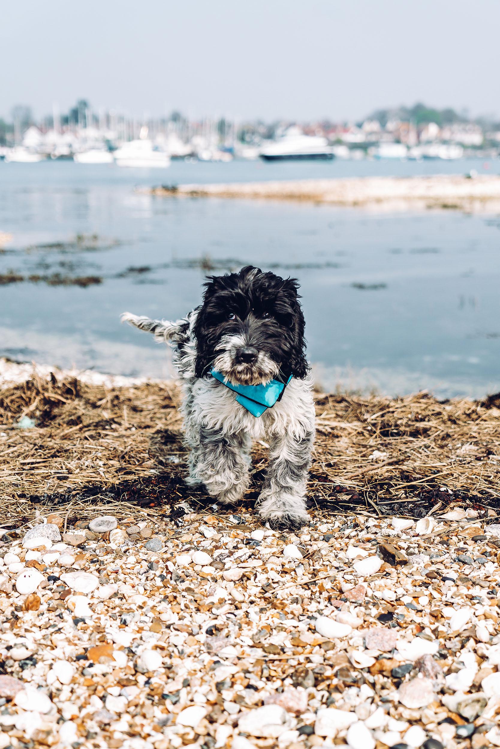 Gemma and Life Blog - Cockapoo Dog - Hendricks.jpg