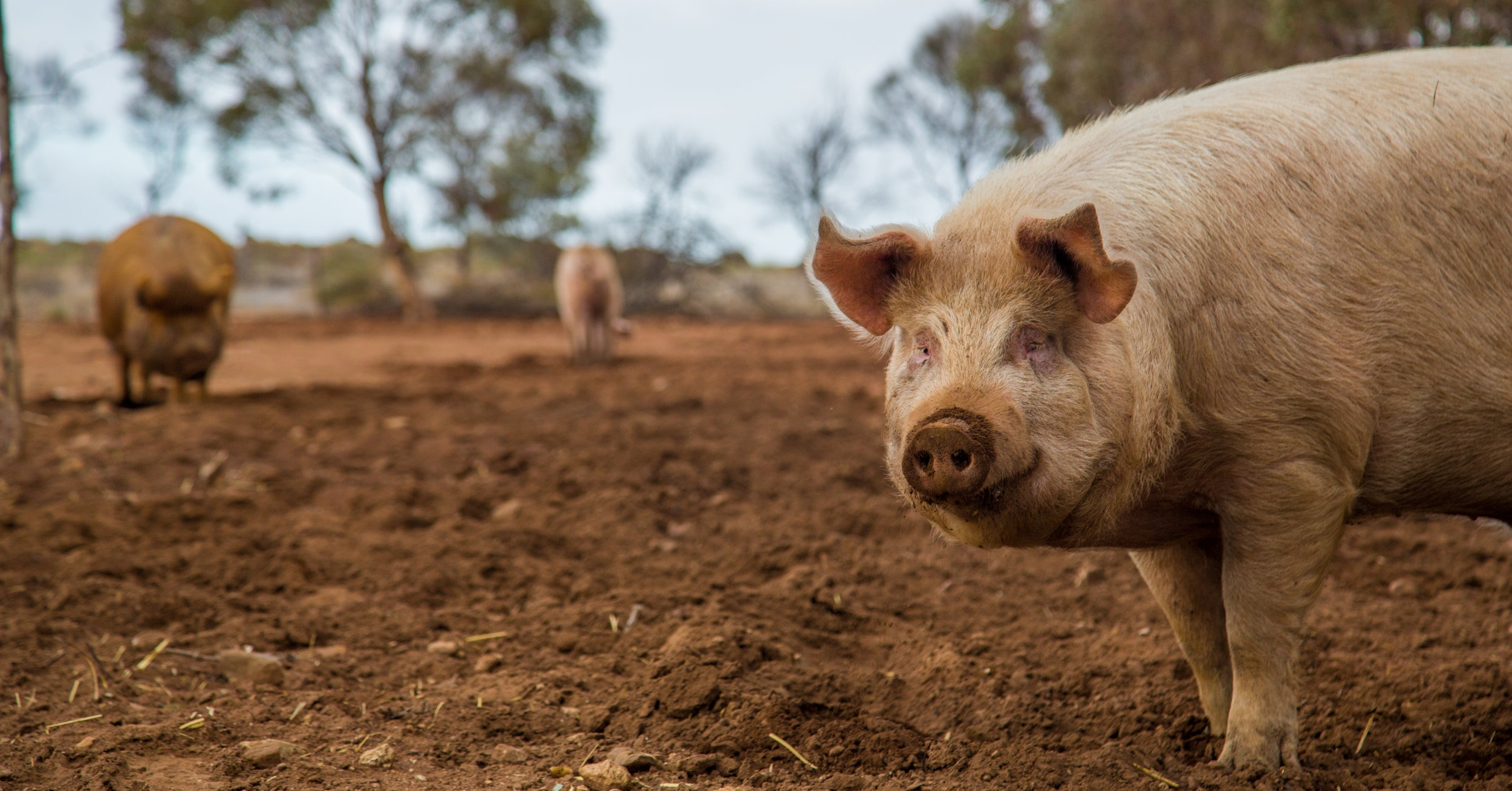 Pictured is Mocha, an original Furever Farm resident who has since passed. The pig paddock is named in his honour.