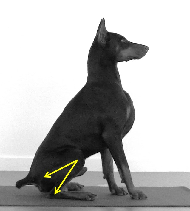 Figure 1.2 Functional PROM of the Stifle Joint - Using a photograph or video software, baseline functional PROM can be defined for any functional activity. This photograph demonstrates the delineation of functional stifle flexion PROM for sitting.