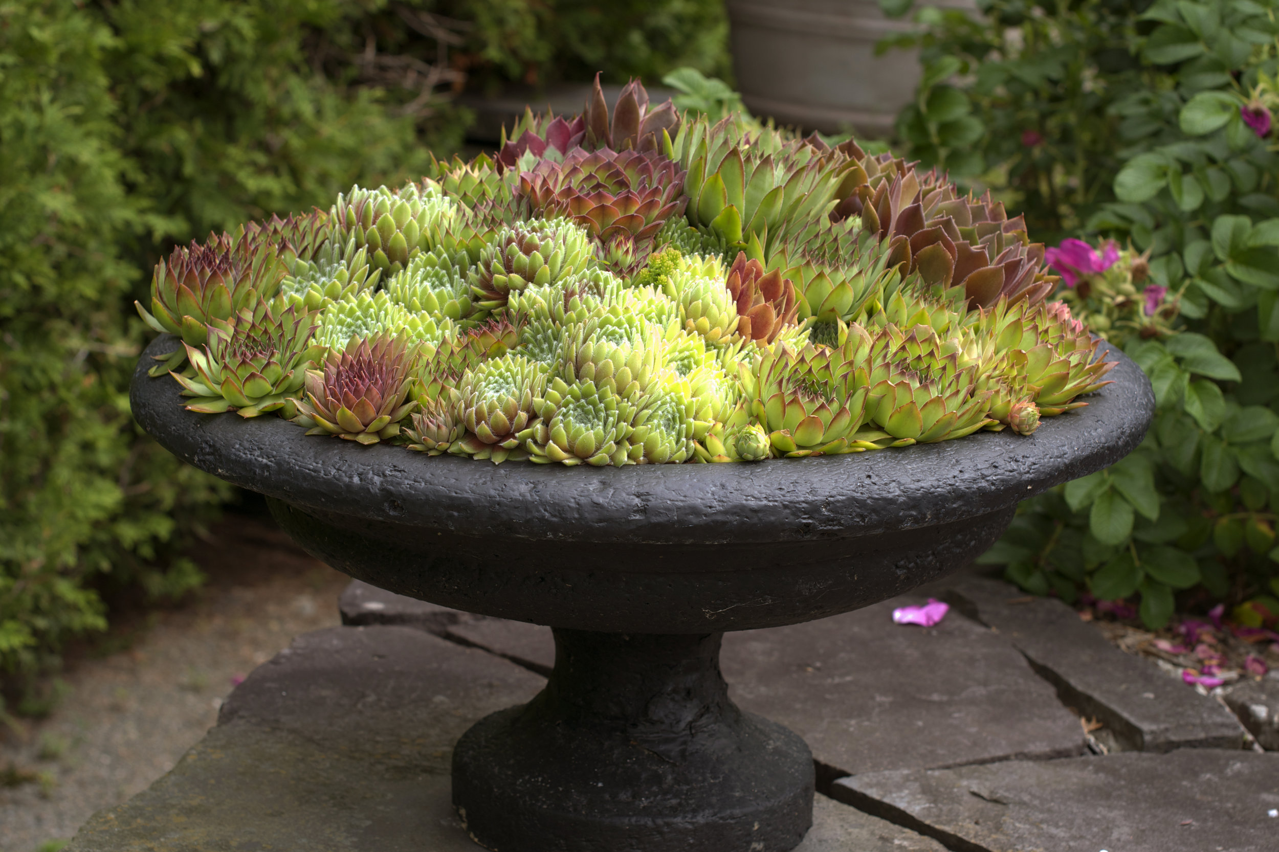 hens-and-chicks-succulents.jpg