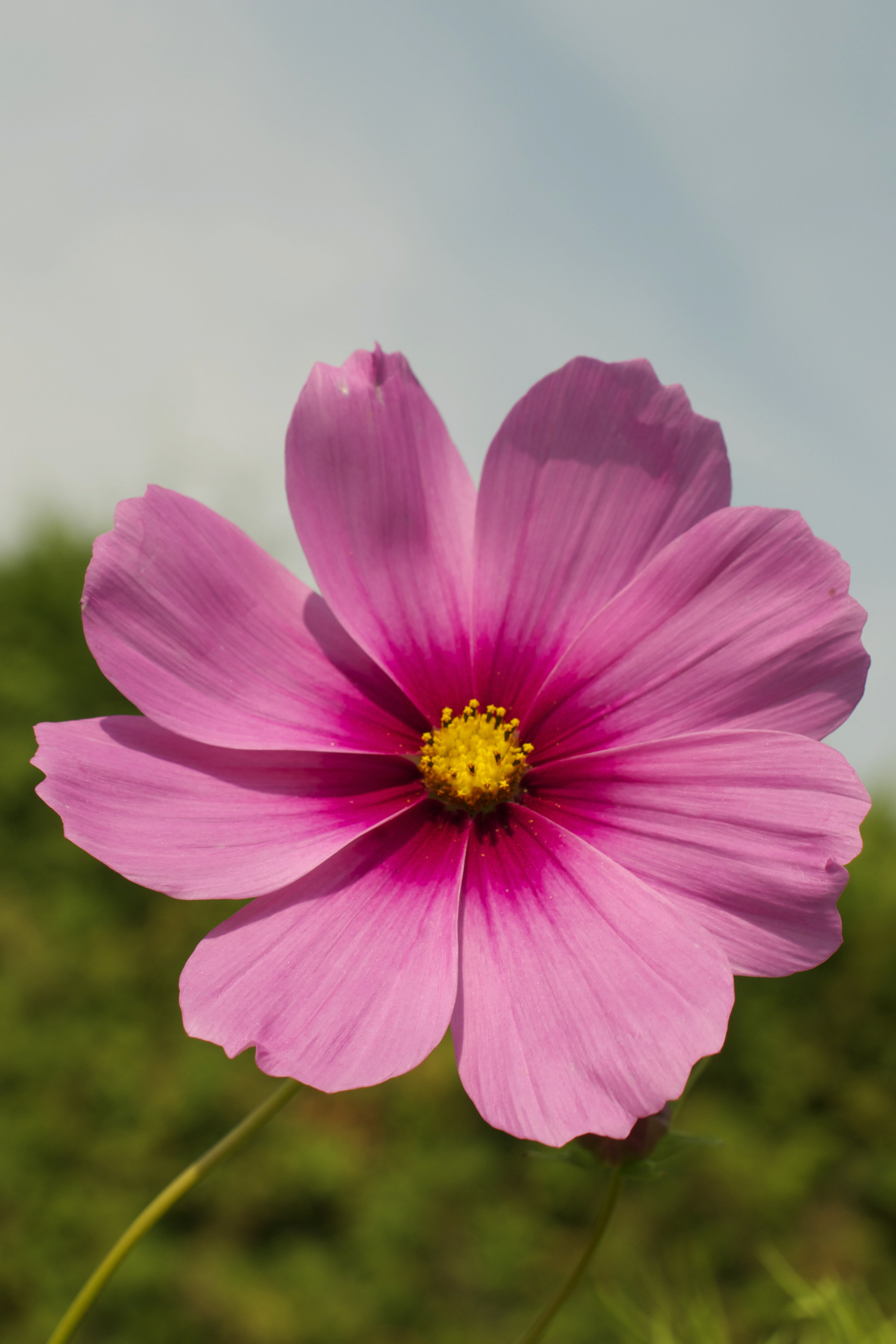 pink-cosmo.jpg