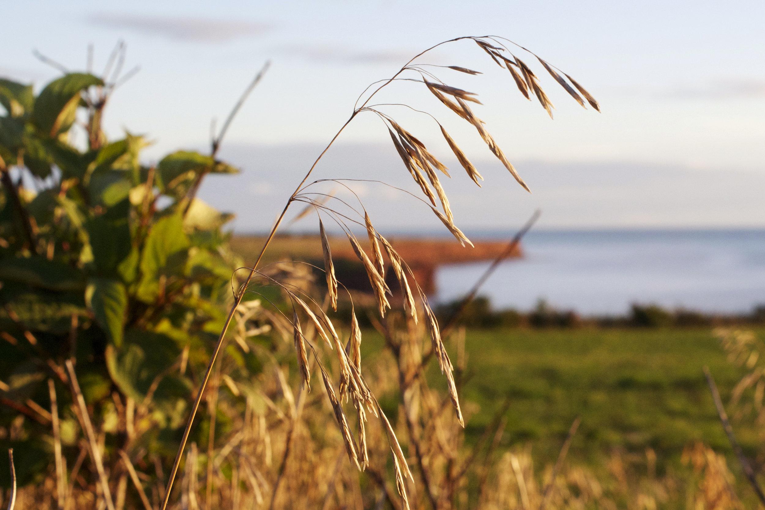 North-Cape-Clipps-south-through-wheat-stem.jpg