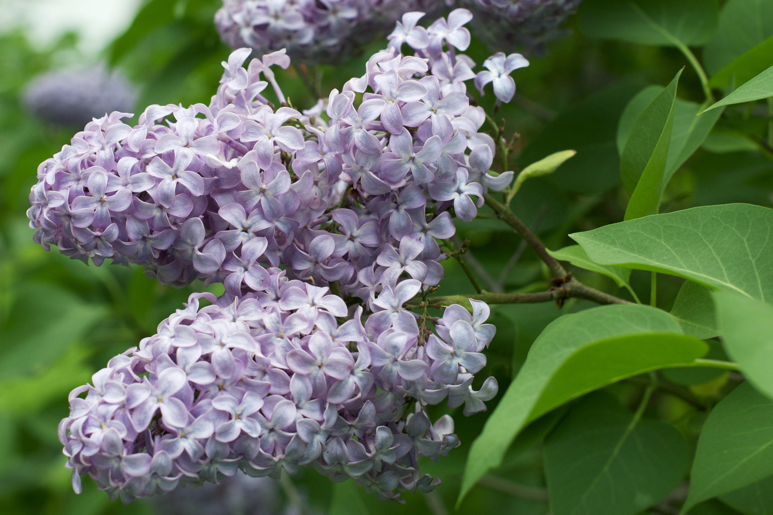 lilacs-beauty.jpg