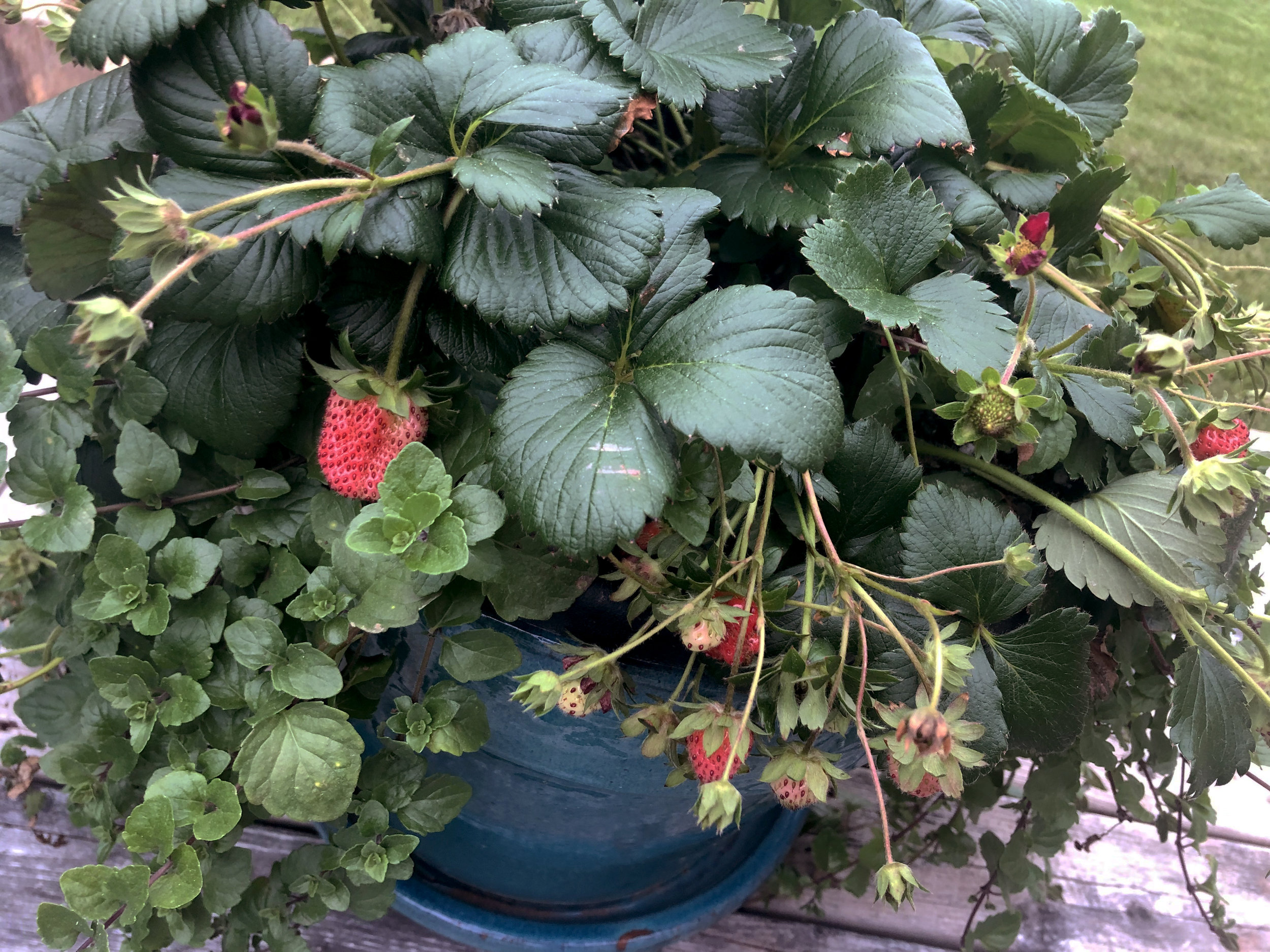 strawberries-in-planter.jpg