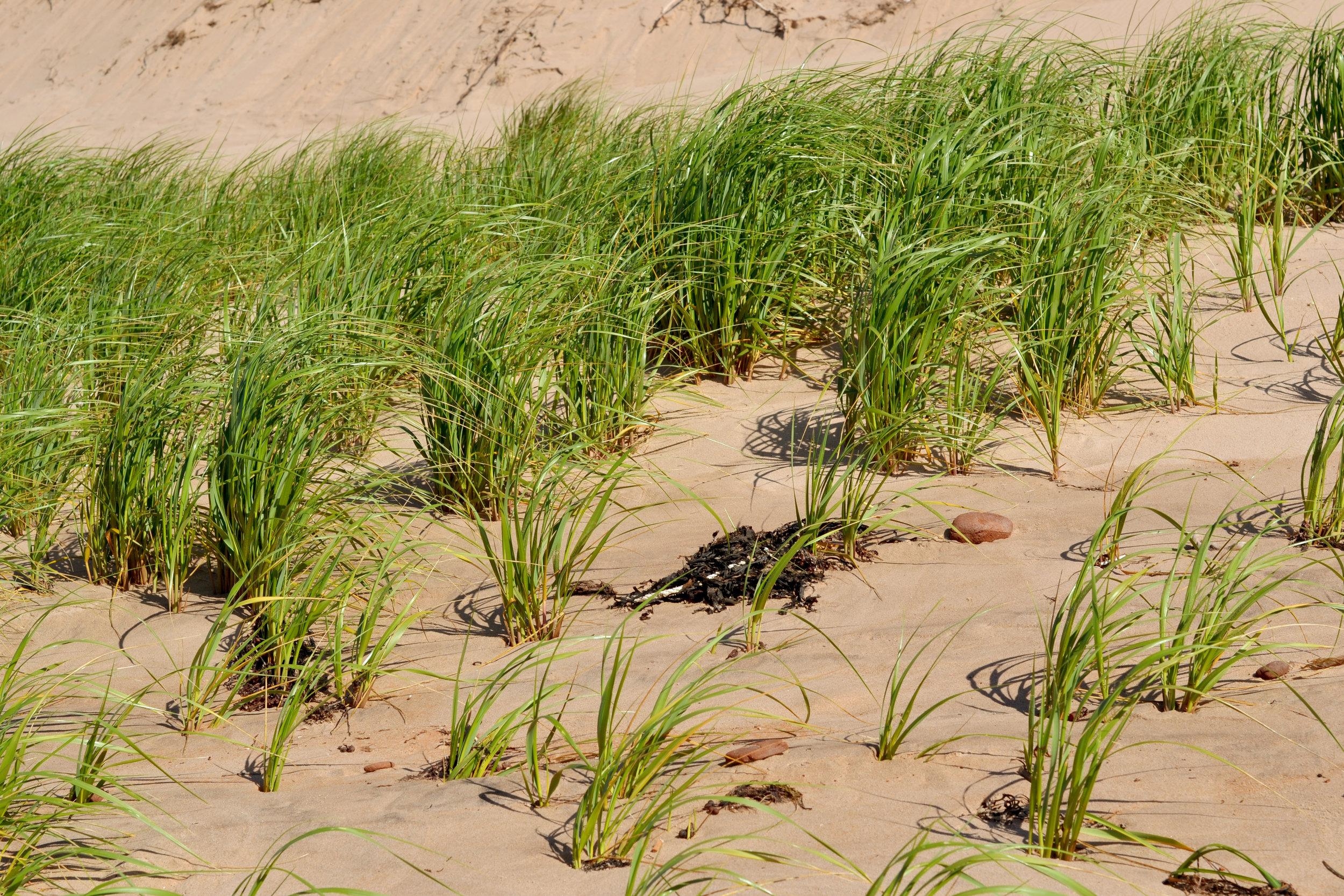 dune-grass.jpg