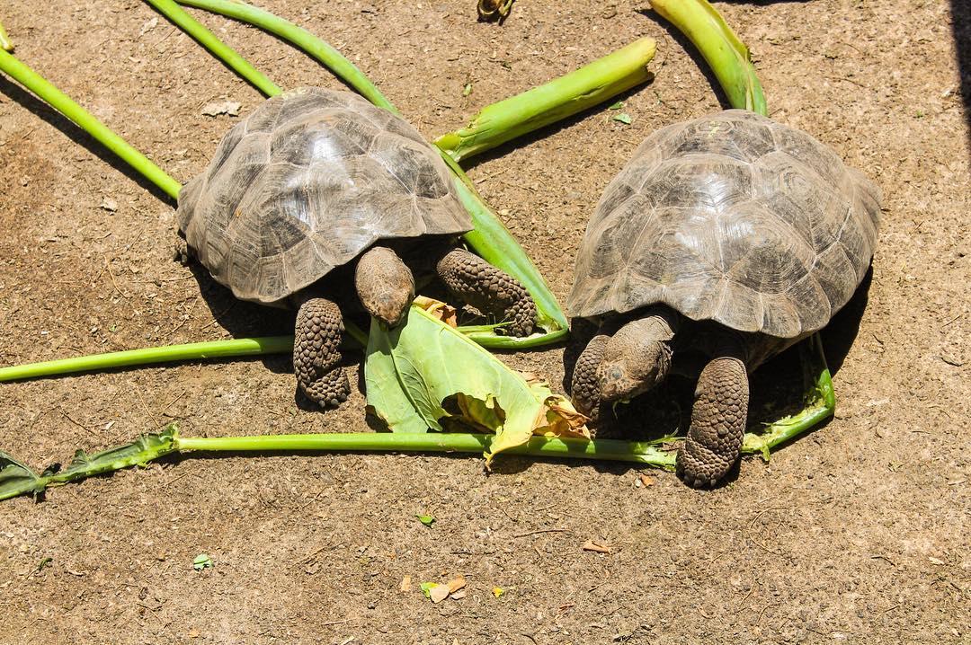 Baby tortoises at Charles Darwin Research Station, Santa Cruz, Galapagos, Ecuador. Travel blog guide to Santa Cruz, Galapagos, budget land travel in the Galapagos Islands.