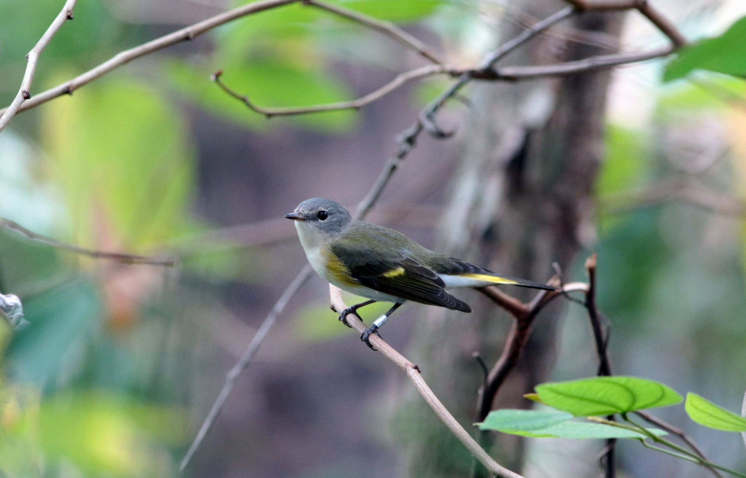 An American Redstart that we banded on 5/22/17 was photographed on its wintering grounds in Brasil! This bird was photographed in Boa Vista, State of Roraima, Brasil, which is roughly 4,775 km away from where she was banded, if one were to take a direct route, which birds rarely do. That is quite the distance for a bird that weighs roughly 9 grams!