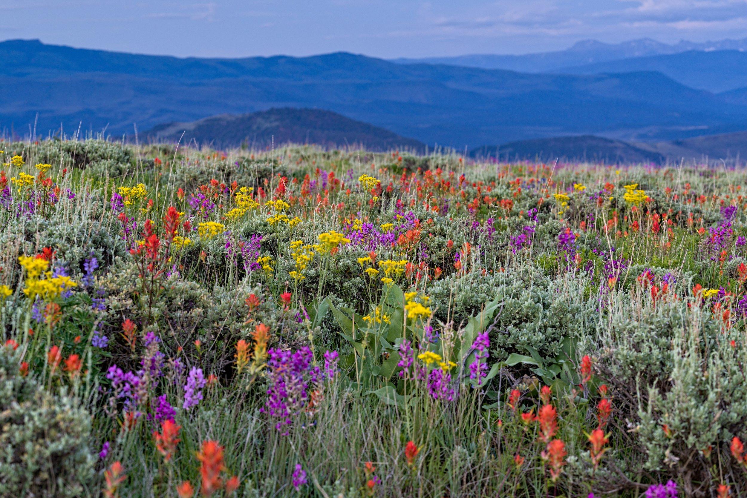 Wildflowers-Colorado-OutThere-Colorado.jpg