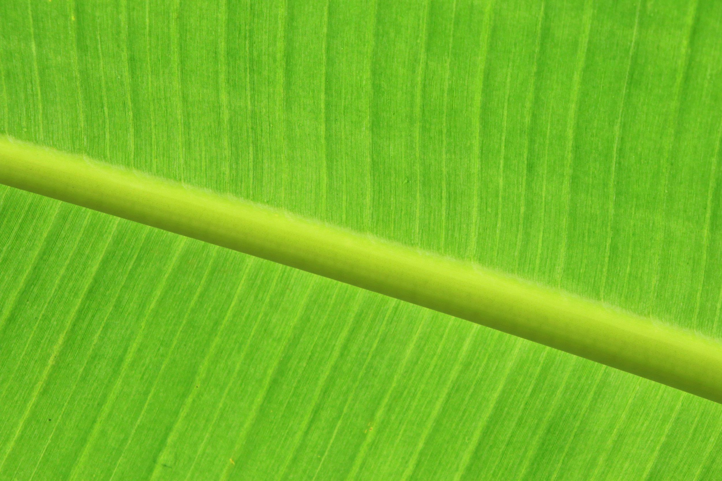 feuille parlmier vert.jpg