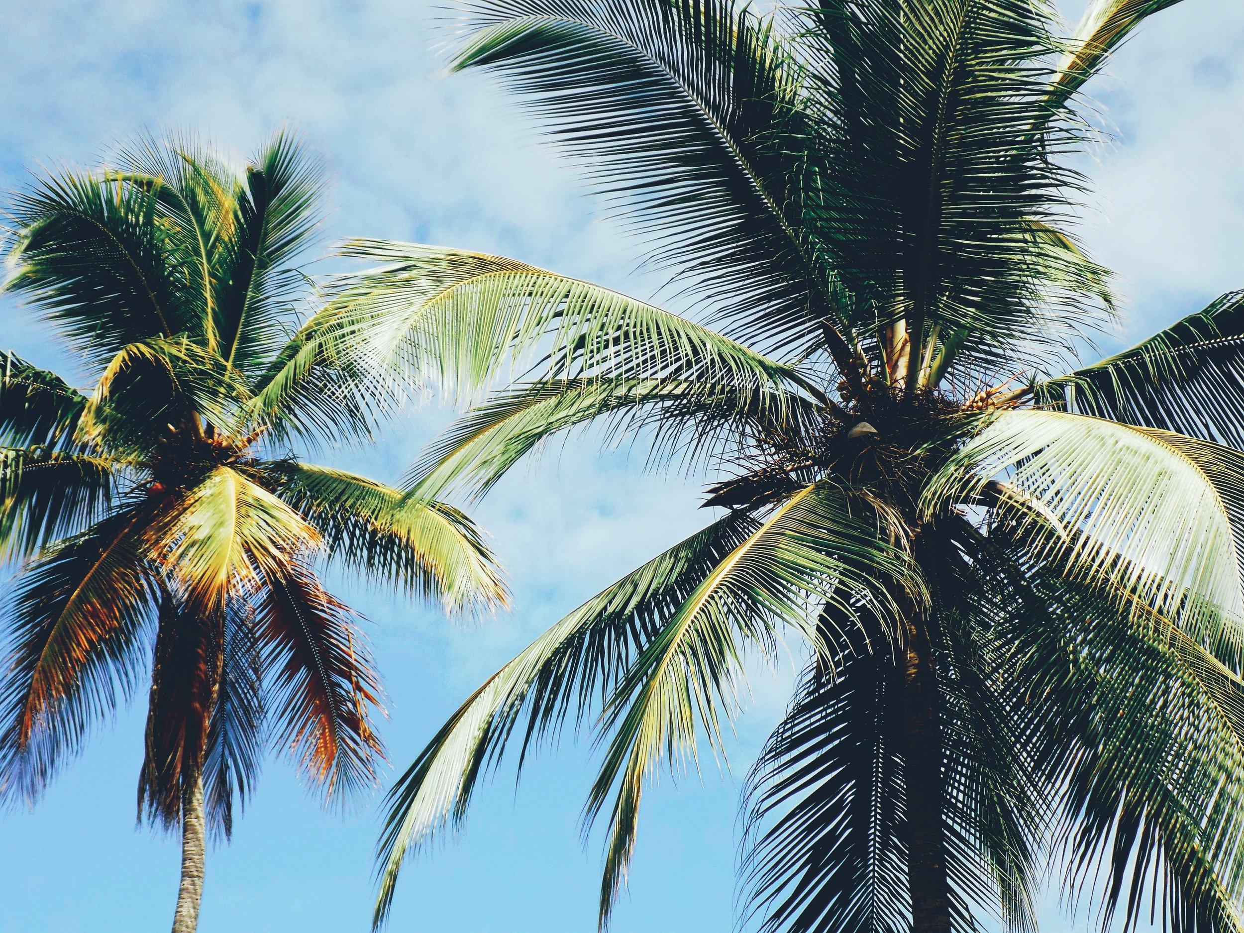 palmiers seulement.jpg