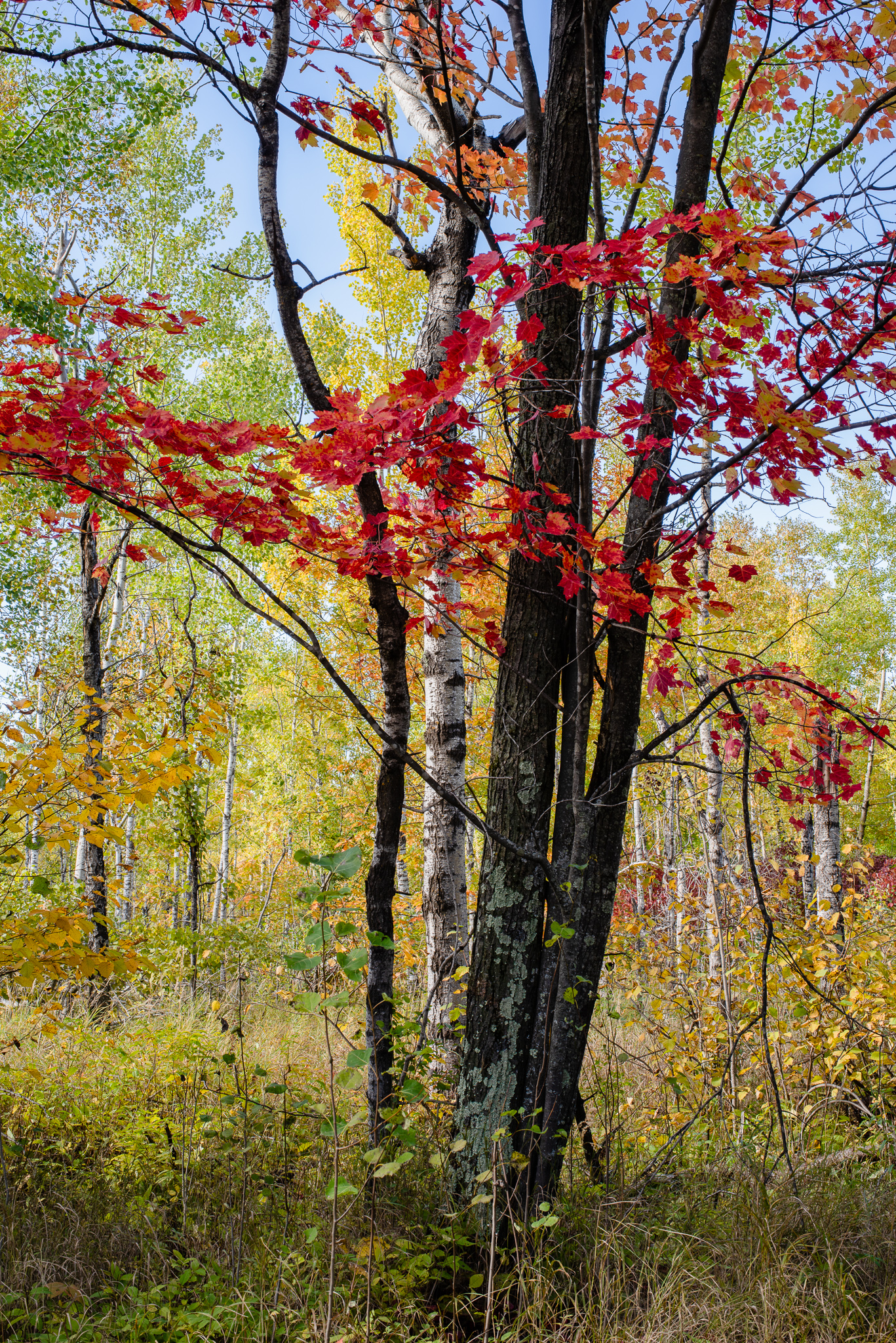 Hawk Ridge Fall Color in Duluth, MN. #hawkridge #fallcolor #maple #red #northwoods