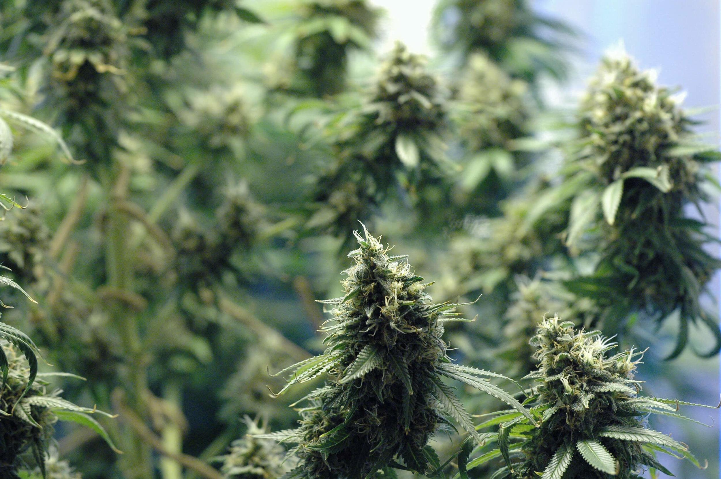 cannabis-consultant.jpg