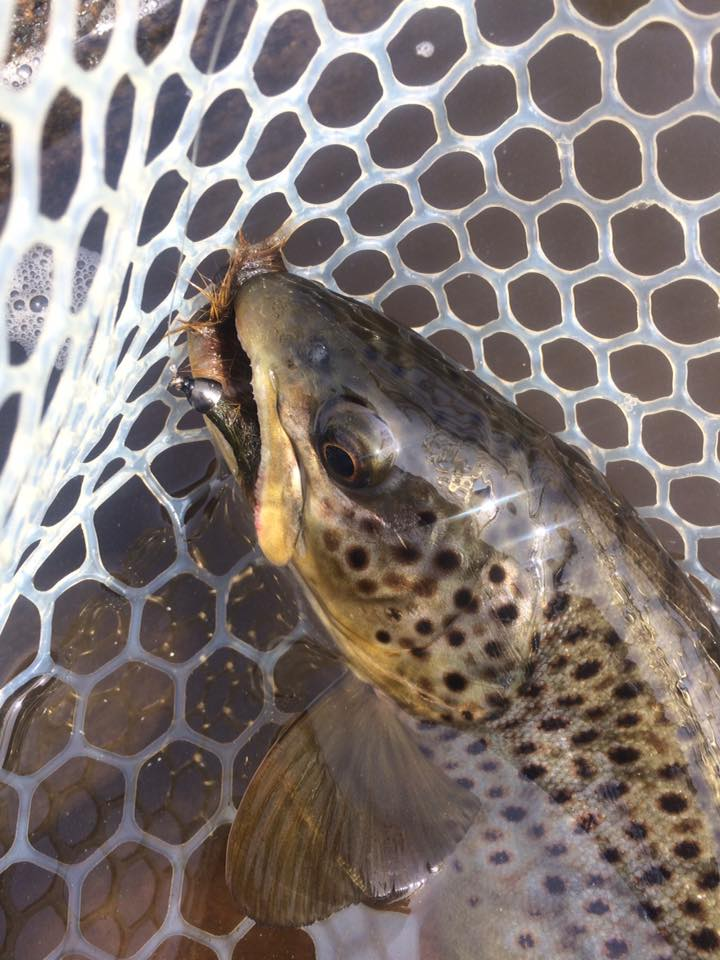 pheasant-tail-tours-trout-guide-brown-trout-deerfield-river-streamer.jpg