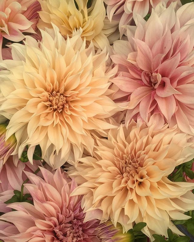 I love working with and creating relationships with our local growers. @bloomflowerfarm has some kind of ✨when it comes to her cafe au lait dahlias.