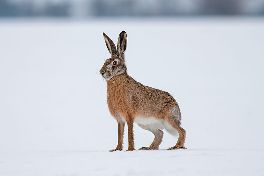 Scottish Game-Hare 6x4.jpg