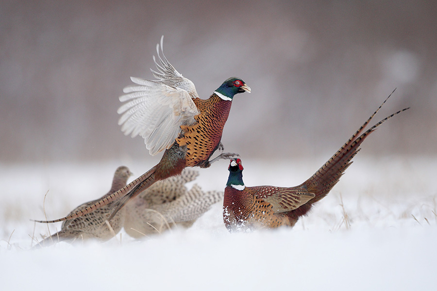 Scottish Game-Pheasant 6x4.jpg