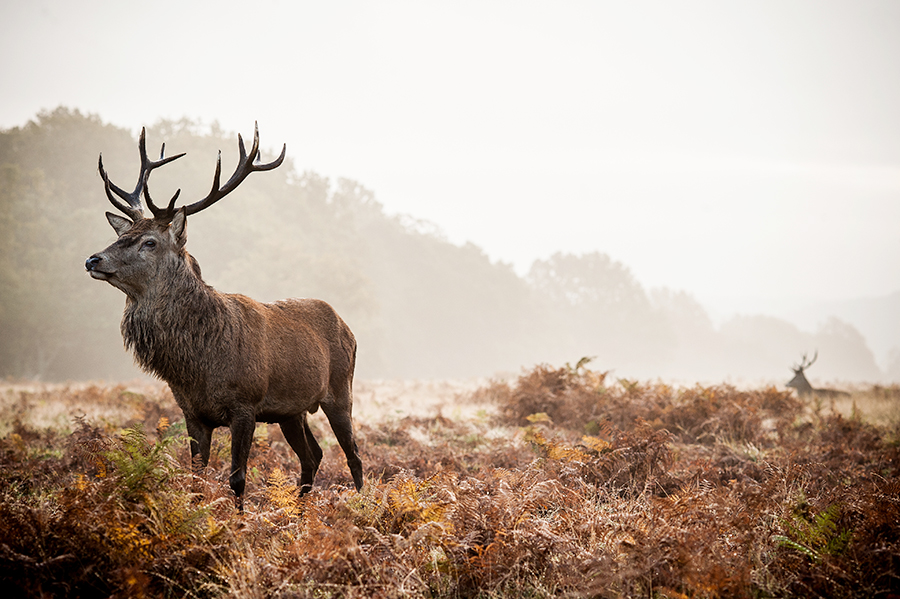 Scottish Game-Stag 6x4.jpg