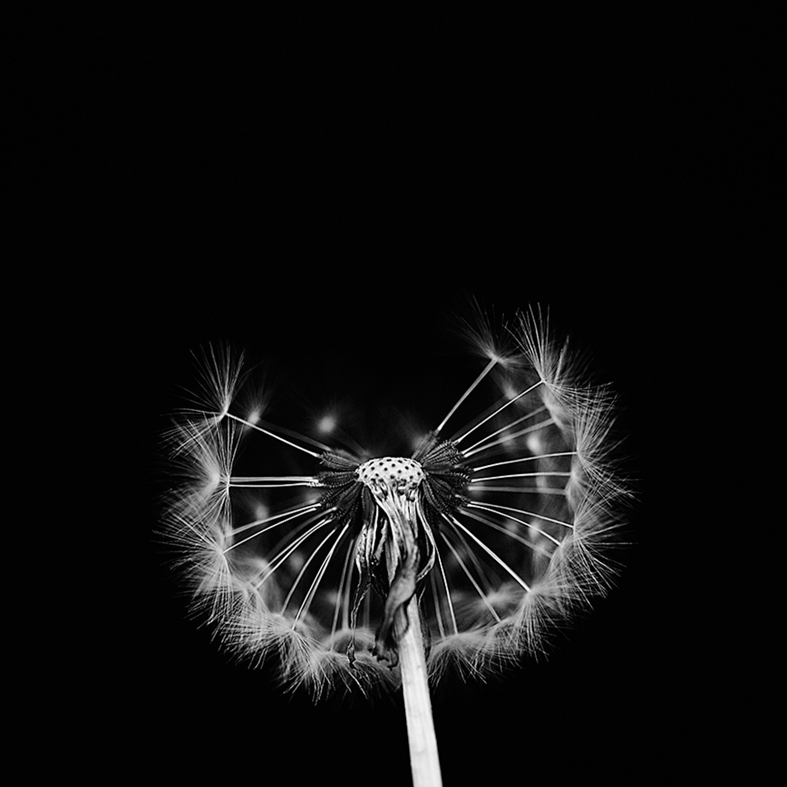 dandelion.clock.0904.jpg
