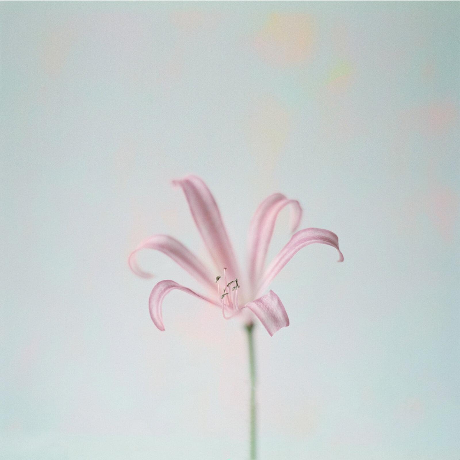 Floral image shot on my beloved Mamiya medium format film camera + a digital overlay