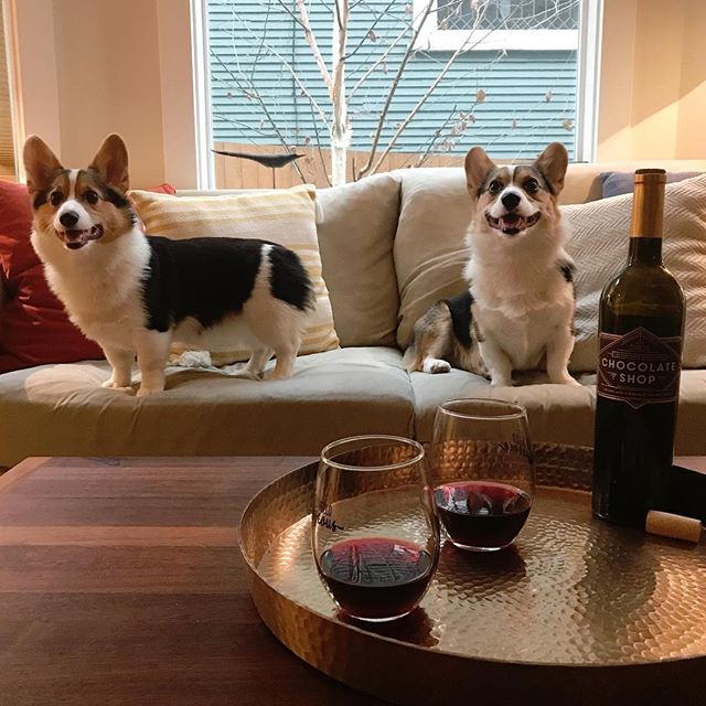 #winedogwednesday is official! @pembrewwelshcorgi has the right idea. Chocolate + Wine + Pups = Happiness