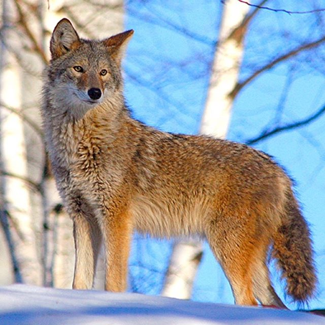 Now and again we must be reminded of the wildness in us and also howl in celebration of the beauty of creation and God's great gift to us!