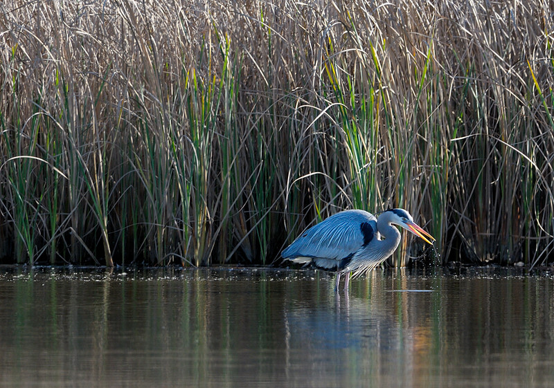 Great Blue Heron at Ballona Freshwater Marsh