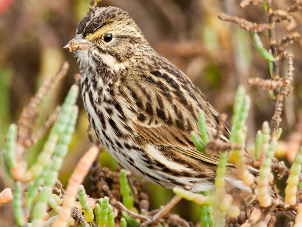 The Belding's savannah sparrow, a State listed endangered species, forages and breeds primarily in high salt marsh habitat that is flooded only infrequently by tides or is isolated from tides. Photo Credit: USFWS