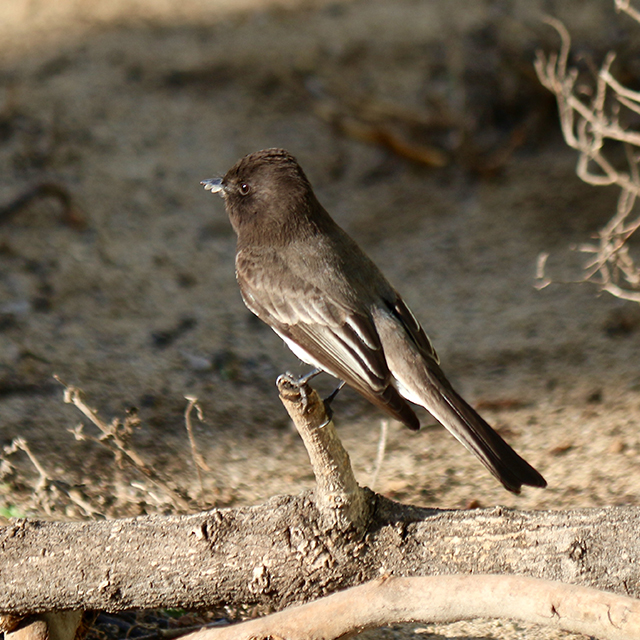 black-phoebe.jpeg