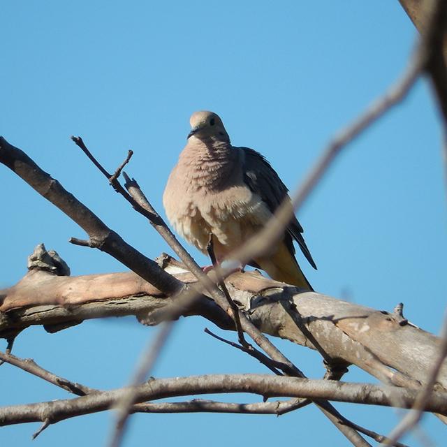 mourning-dove.jpeg