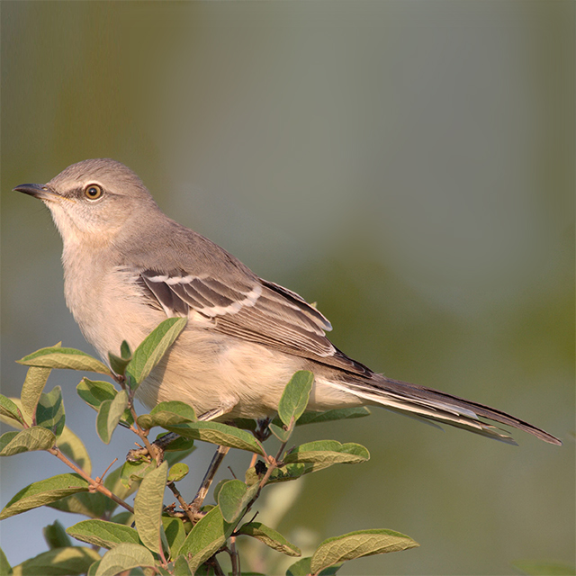 northern-mockingbird.jpeg