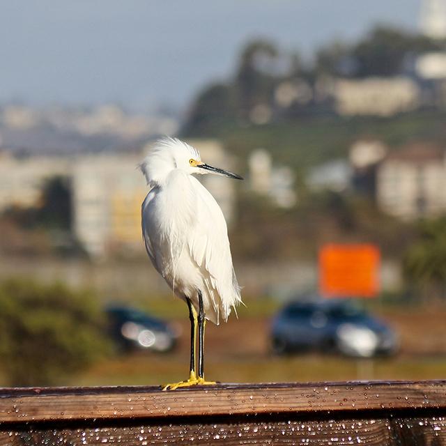 snowy-egret.jpeg