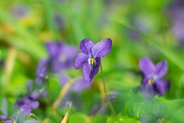 Vous en faites quoi vous des violettes? Moi je les seche pour en faire des tisanes, et je les cristalise pour decorer les gateaux, miaaam!  #violettes #monjardin #gardenlife #mygarden #growwhatyoueat #homegrown #silencecapousse #jecultivecequejemange #violettesauvage #violets #springflowers #flowers🌸 #fleurs🌸 #lacampagne #hautevienne #hautevienne87 #hautevienneinattendue #hauteviennetourisme #hautevienne_dep #igershautevienne #igerslimousin #springgarden #springgardening #rural_love #ruralphotography 120,708 posts