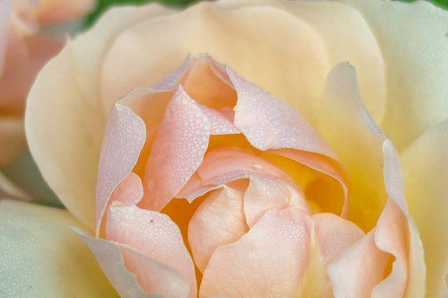 Vous la sentez???!! Quelle odeur envoutante!  #rosegoldrose #rosegoldroses #awesome_florals #rosier #rosiers #rosegarden #rosegardens #rosegardening #rosegarden🌹 #rosegardener #rosescent #rosescented #romanticflowers #romanticflower #roseodorante #rosedujardin🌹 #rosesdujardin #rosedemonjardin #beautedelarose #dewyflowers