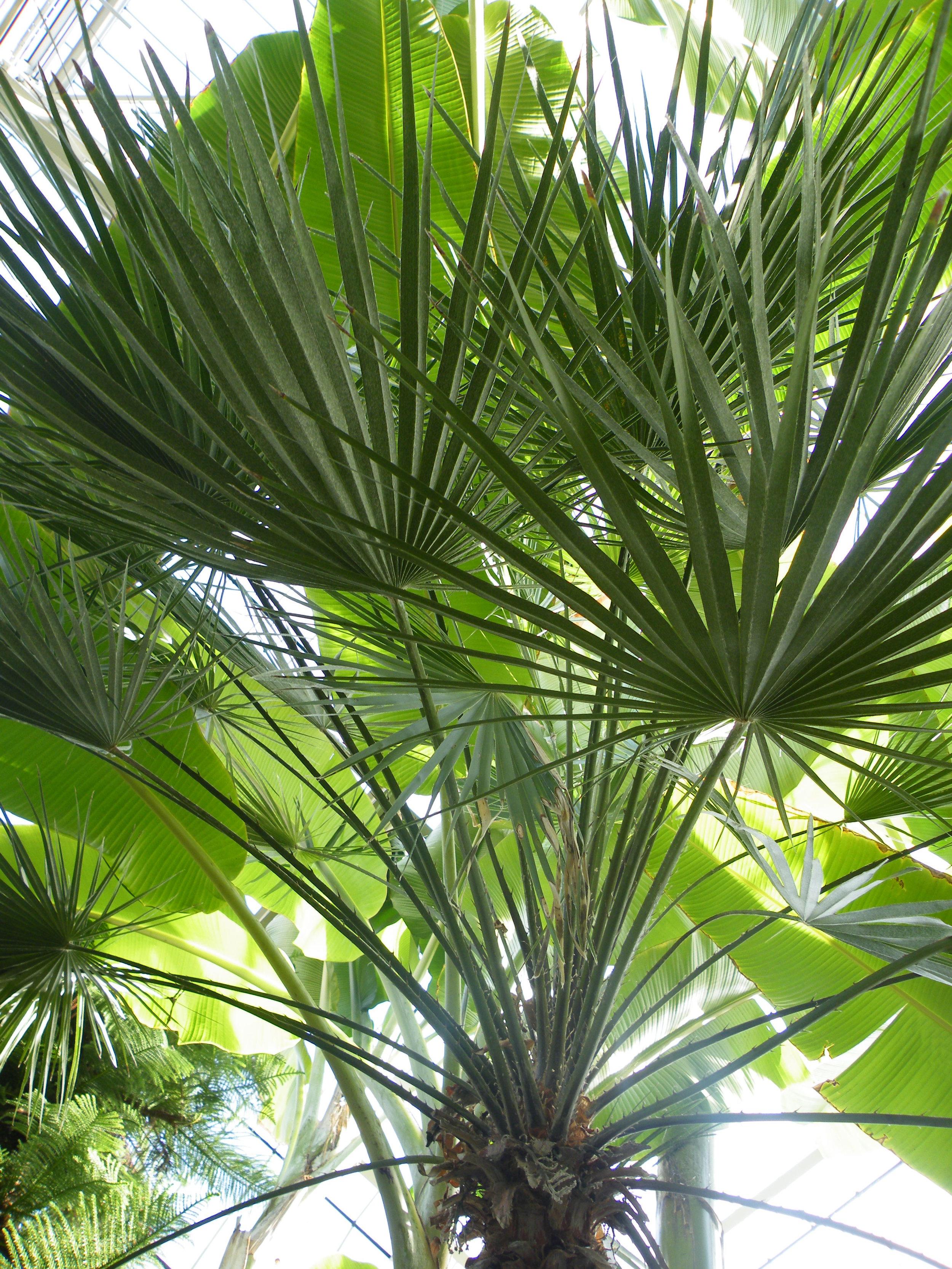 Chamaerops_humilis (Mediterranean Dwarf Palm).jpg