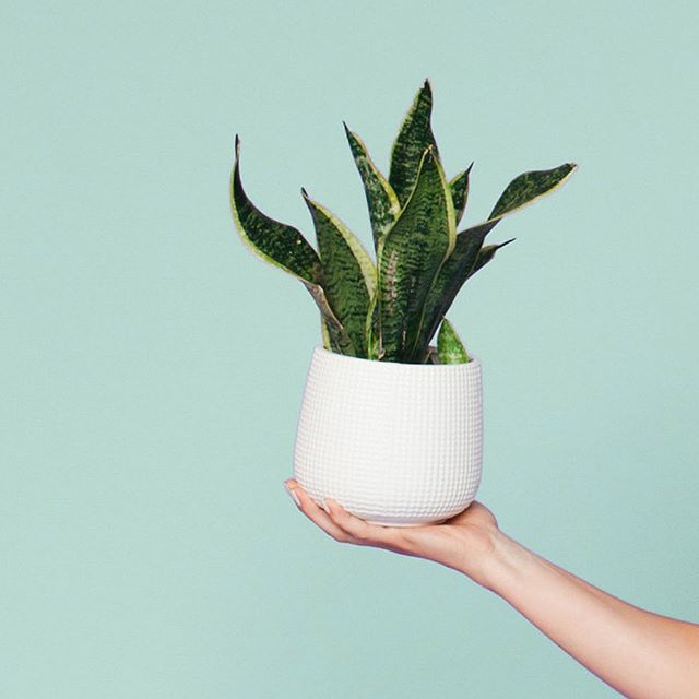 Meet Sansa our new Snake plant. She's perfect for styling with a small set up or just handing to a model to play!  We are starting to get new props in the studio! Check out our Insta stories and tell us what you'd like to shoot with!