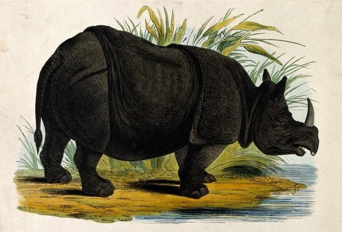 Rhinoceros / Wellcome Images
