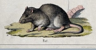 Rat / Wellcome Images