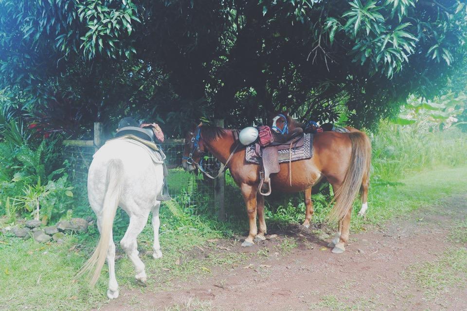 horses brown and white horseback riding in the jungle hawaii big island hilo travel tourism blogger vlogger influencer carla maria bruno blog lifestyle adventure.JPG
