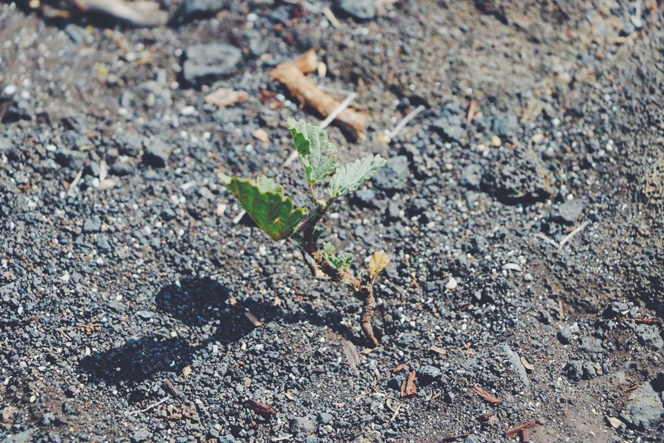 plant growing from lava the gold coast travel tourism blogger vlogger influencer collaboration carla maria bruno travel with me tv blog youtube hawaii tips kona norwegian cruise line.JPG