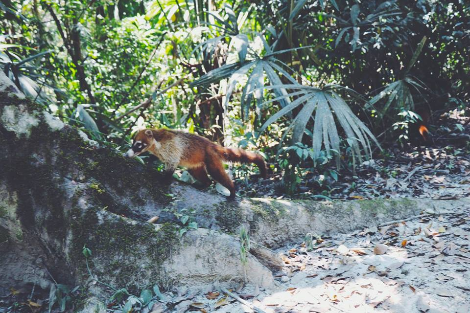 raccoon tikal flores guatemala mayan tours mayan ruins backpacking carla maria bruno travel blogger vlogger influencer.jpg