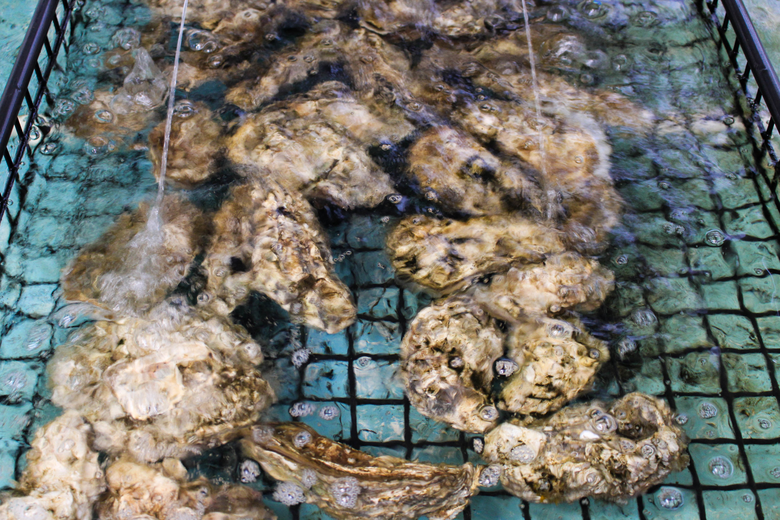 Oysters at Taylor Shellfish Hatchery. Photo Credit: Maxim Podhaisky