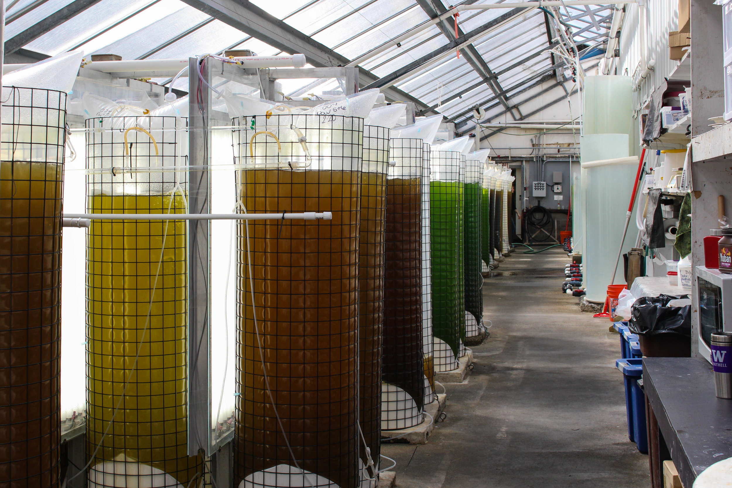 The feeding tanks where algae is grown for larval oysters. Photo Credit: Maxim Podhaisky