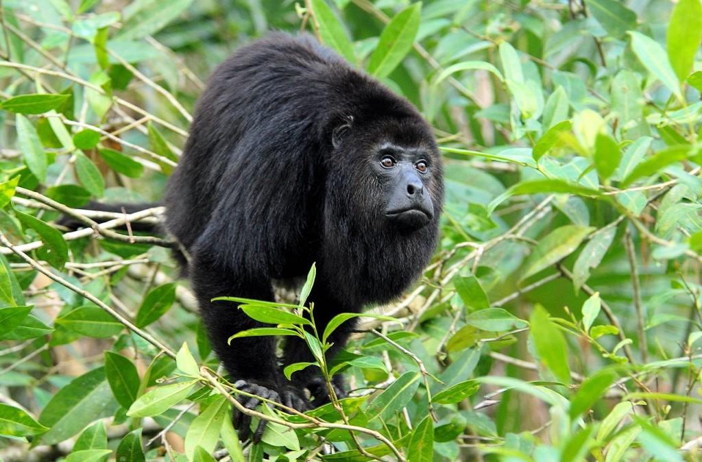1280px-Alouatta_pigra_Belize_Zoo_2-e1441034133337-1024x674.jpg