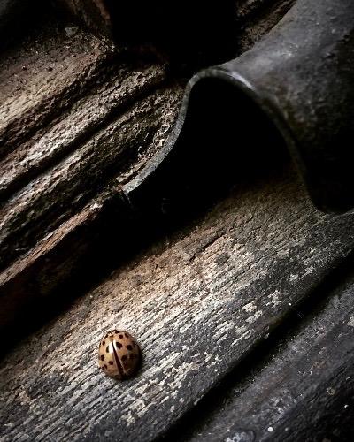 Evening Cicadas Sing - 寒蝉鳴 ひぐらしなく13 - 17 August / #38 of 72 SeasonsDerbyshire, England, UKCLICK HERE to the original blog post24 SeasonsThe 2nd pentad of Beginning of Autumn二四節気 立秋 次候