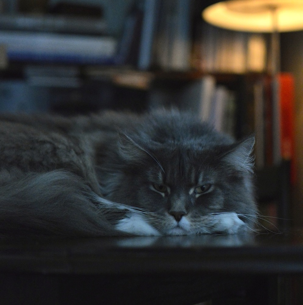 Maine Coon cats Ghost 1.jpg