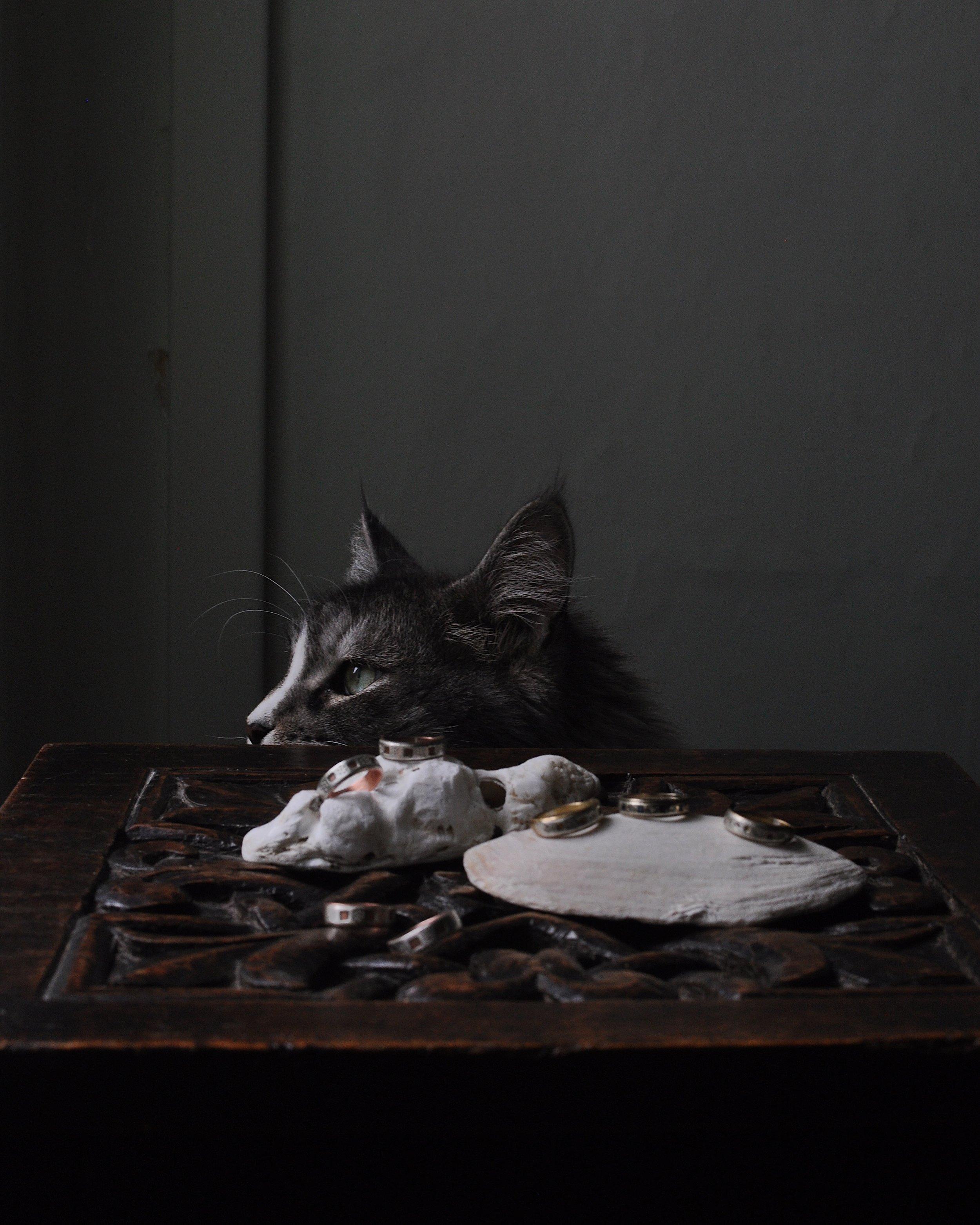 Maine coon cat Freya